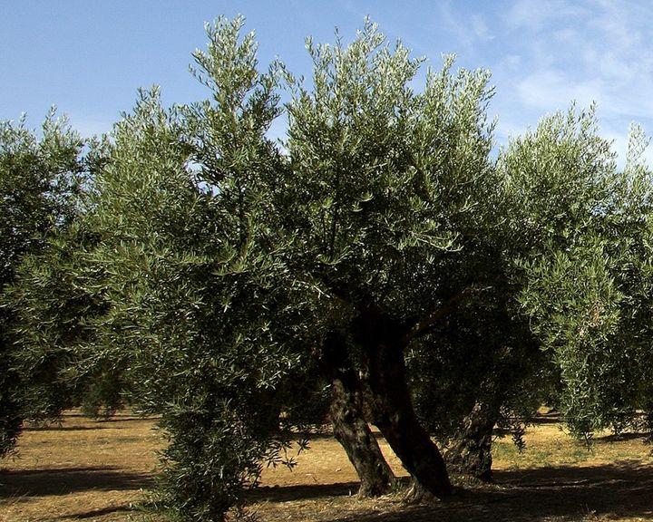 Epoca de poda de oliva en maceta casa dise o - Poda de hortensias en maceta ...