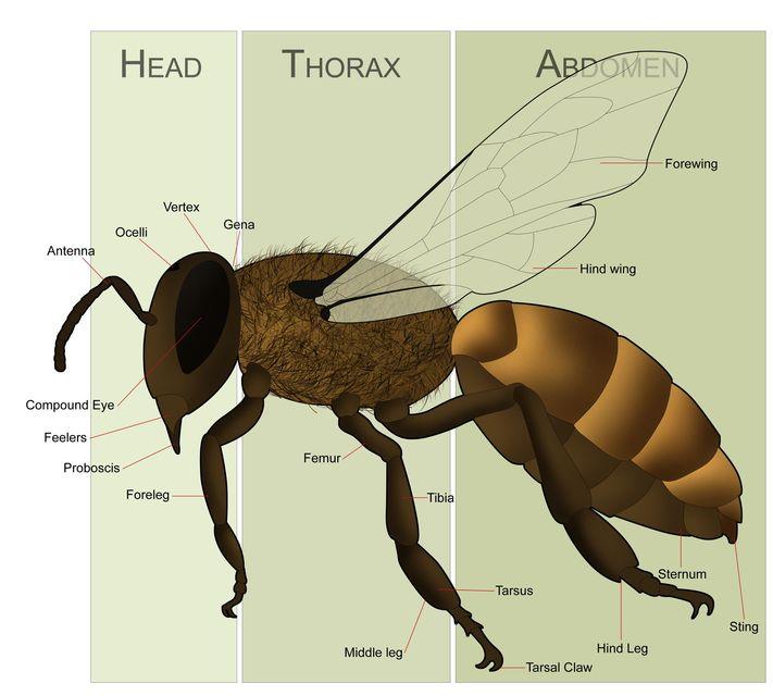 Abeja Obrera on Honey Bee Body Parts Diagram