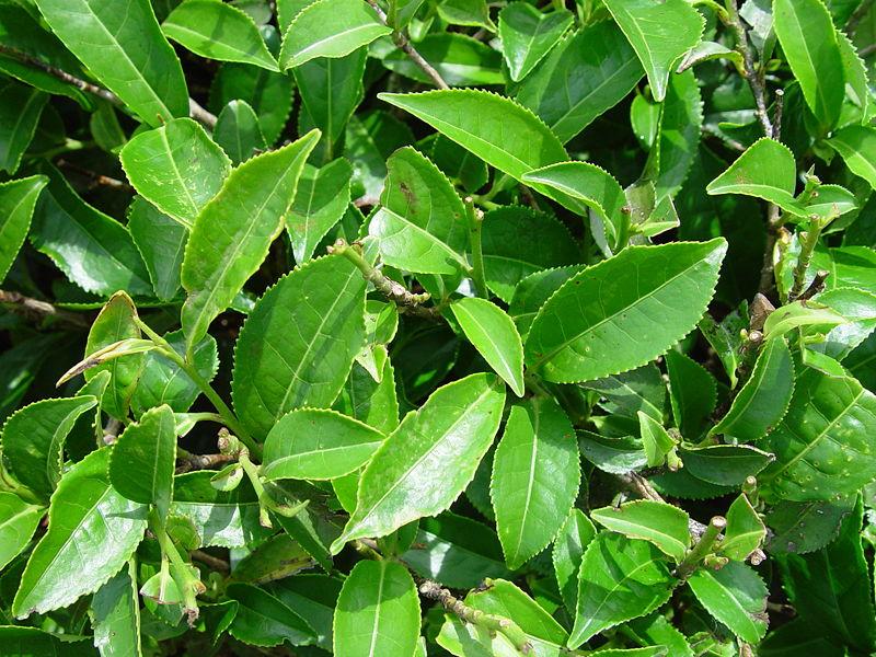 La planta de té (Camellia sinensis)
