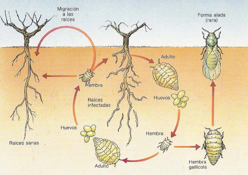Ciclo de filoxera