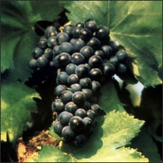 Resultado de imagen de cariñena uva