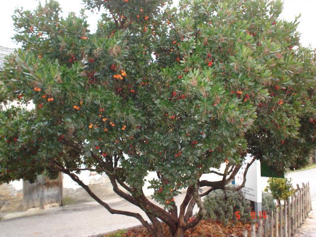 Madro o for Ver fotos de arboles de hoja perenne