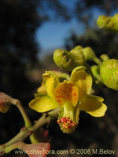 Tara - Caesalpinia gilliesii cultivo ...